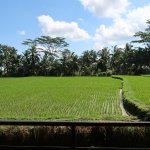 View of rice field from our room
