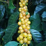 Yellow Catuai ready for picking so we can turn it into a delicious cup of java.