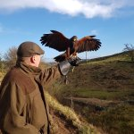 Working with 'Holly' the Harris Hawk
