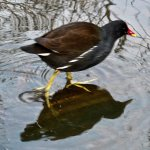 Moorhen on Connaught Water