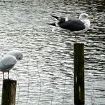 Lesser black-backed gull on Connaught Water