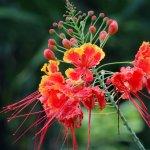 fleur de mini-flamboyant devant notre salon