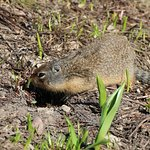 Columbian Graound Squirrel