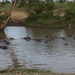 The hippos cool off during the day, and make great sounds at night.