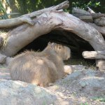 Capybara resting near the Zoo entrance.