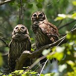 Rare sibling owl sighting - you can hear them hoot though!