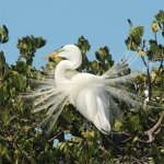 Great Egret in breeding plumage - Everglades National Park Dolphin, Birding and Wildlife Photo T