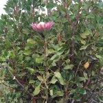 King Potea plant