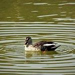 Spotbilled Duck