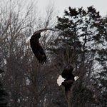 2 eagles taking flight
