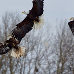3 eagles coming in for a landing