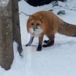 Fox  from Snowshoe walk