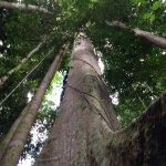 Highest tree in Malaysia