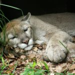 This majestic animal is enjoying -- what else? -- a cat nap!