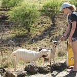 Visitors can't resist being with the goats