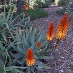 Bahai Gardens and Shrine - Blooming in fire colors