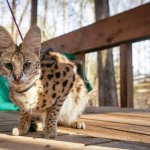 Merriam the Serval