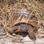 One of a thousand Gopher tortoises on Egmont Key