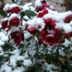 Blooming roses in snow at the Denver Botanic Gardens