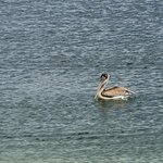 Brown pelican (Pelecanus occidentalis), one of many bird species that can be found here.