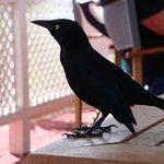 Blackbird on table