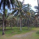 Coconut estate in Kurunegala.