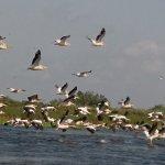 Pelikan Schwarm im Donaudelta!