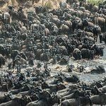 Mass River Crossing - Great Migration; Masai Mara - Kenya