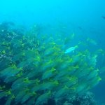big sch of snappers at Gordon Rock