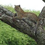 Leopard watching nearby Warthogs, Serengeti