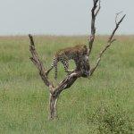 Leopard with baby Warthog, Serengeti