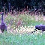 Sandhill crane in the field