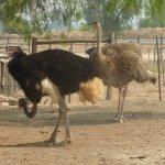 Highgate Ostrich Show Farm Foto