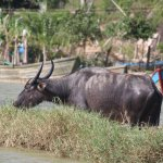 River cruise - Water buffalo