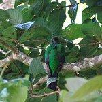 une femelle quetzal