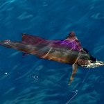One of my Sailfish!
