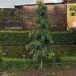 Ashoka tree at Candi Kalasan