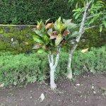Another cute tree at Candi Kalasan