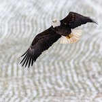 Images from our special tour event Eagle Watch 2018 held annually in Canning, NS.