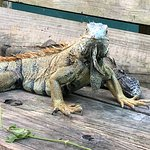 Photo of Green Iguana Conservation Project