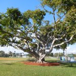 Banyan Tree on the Property