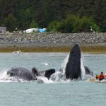 Whales lunge feeding in front of the campground!