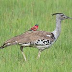 Kori bustard with a Carmine bee-eater