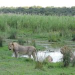 Lions at a watering hole