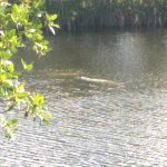 Manatees near the Big Cypress Visitor Center.