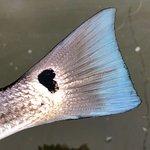 Redfish or bluefish?