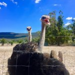 Moody ostriches