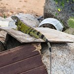 Iguanas can be Found Sunning Themselves