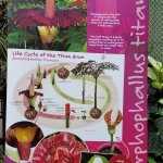 Information about the Titan Arum