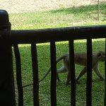 Vervet monkey - The Kingdom at Victoria Falls